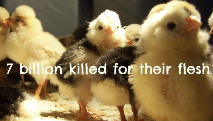 chickens killed number