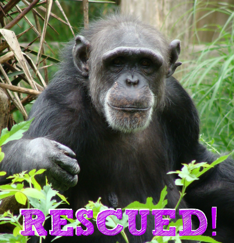 chimpanzee rescued text.png