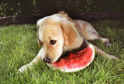 Dog-with-Watermelon